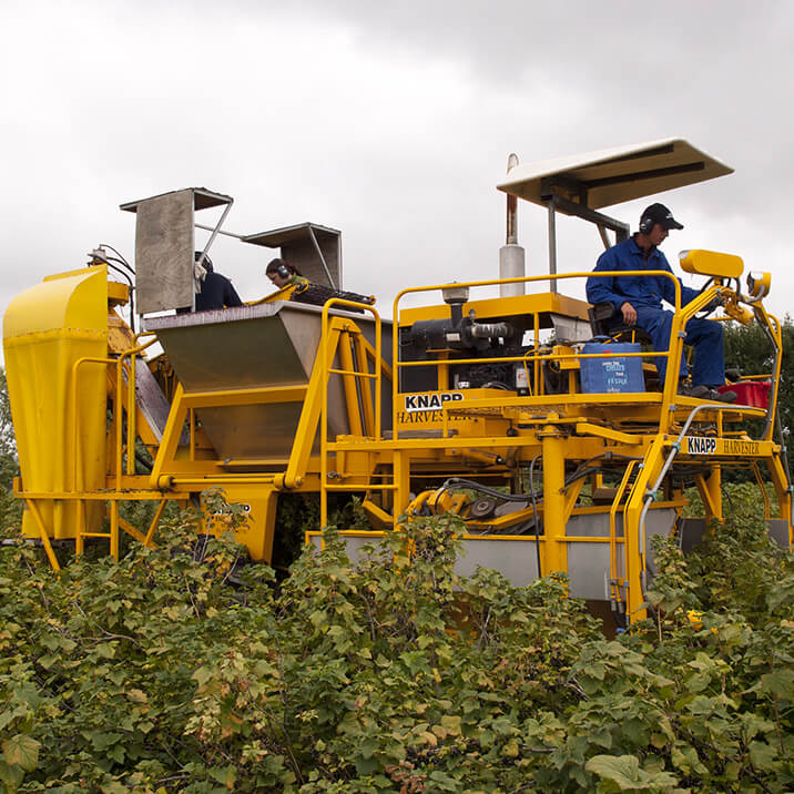 January - blackcurrants harvested by machine